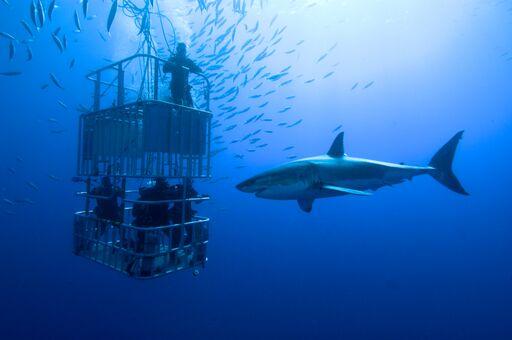 White shark project       إغطس مع القرش