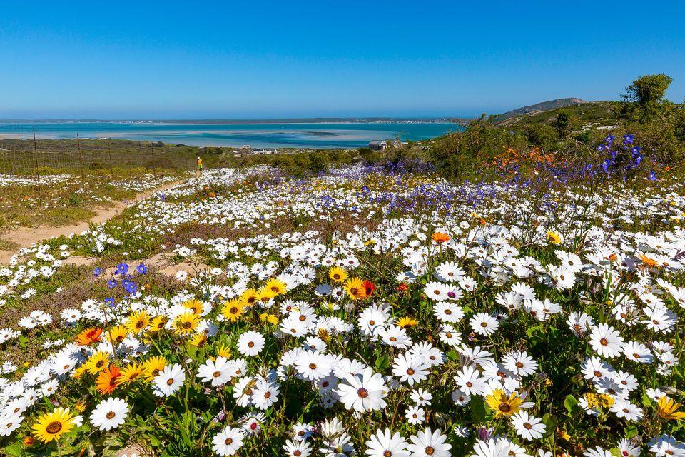 West Coast Way In Full Bloom
